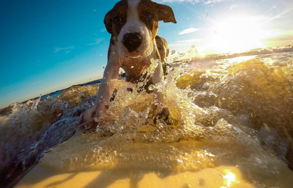 chien-surf